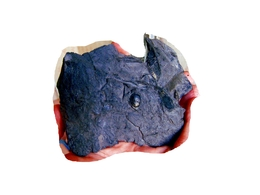Fossiles Plante Du Carbonifère Carboniferous Plant Samaropsis Gutbieri - Fossiles