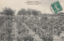 UNE PLANTATION DE CASSIS - SABARLY, PROPRIETAIRE, A MONTIGNY SUR AUBE (21) - SUPERBE CARTE TRES TRES ANIMEE - TOP !!! - Cultures