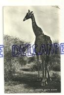 Girafe. Sud Soudan. Giraffe South Sudan. 1964. Tropical Photo Stores - Jirafas