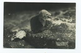 Postcard Scilly Isles Rp Young Razorbill Sea Bird  Photo By C.j.king. Posted1921 - Scilly Isles