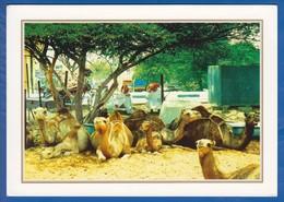 Kuwait; Camel Market - Koweït