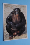 BONOBO ( ZOO Antwerpen / Planckendael ) Anno 19?? ( AVM > Voir Photo ) ! - Monkeys