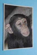 BLEEKGEZICHTCHIMPANZEE ( ZOO Antwerpen / Planckendael ) Anno 19?? ( AVM > Voir Photo ) ! - Monkeys