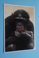 BONOBO ( ZOO Antwerpen / Planckendael ) Anno 19?? ( Nels > Voir Photo ) ! - Monkeys