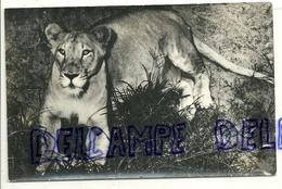 Lionne. Musée Royal De L'Afrique Centrale. Tervuren - Lions
