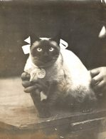 CAT SHOW AT WESTMINSTER  GATO CHAT KAT CAT  16*12CM Fonds Victor FORBIN 1864-1947 - Fotos