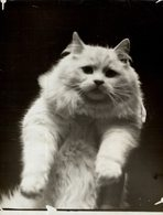 CAT SHOW AT CRYSTAL PALACE LONDON GATO CHAT KAT CAT  16*12CM Fonds Victor FORBIN 1864-1947 - Fotos
