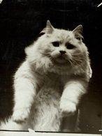 Cat Show London GATO CHAT KAT CAT  16*12CM Fonds Victor FORBIN 1864-1947 - Fotos