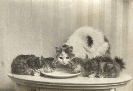 GATO CHAT KAT CAT  15*11CM Fonds Victor FORBIN 1864-1947 - Fotos