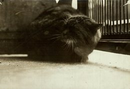THE WILD CAT AT THE ZOO GATO CHAT KAT CAT  17*12CM Fonds Victor FORBIN 1864-1947 - Fotos