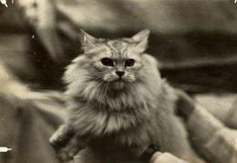 WORLD CAT SHOW WESTMINSTER  GATO CHAT KAT CAT  16*12CM Fonds Victor FORBIN 1864-1947 - Fotos