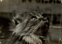 CAT SHOW AT THE CRYSTAL PALACE GATO CHAT KAT CAT  16*12CM Fonds Victor FORBIN 1864-1947 - Fotos