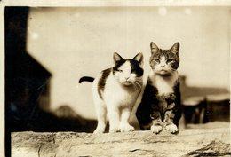 GATO CHAT KAT CAT  17*13CM Fonds Victor FORBIN 1864-1947 - Fotos