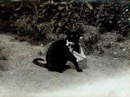 GATO CHAT KAT CAT  21*16CM Fonds Victor FORBIN 1864-1947 - Fotos