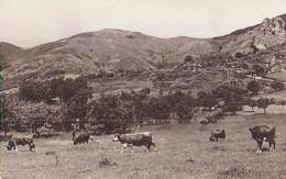 Gard        362        Dourbies.Pâturages ( Vache ) - France