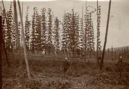HOP PICKING  BAVARIA  GERMANY DEUTSCHLAND  Hallertau Holledau HOPFEN +- 16* 12 CM Fonds Victor FORBIN (1864-1947) - Lugares