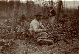 HOP PICKING  BAVARIA   GERMANY DEUTSCHLAND  Hallertau Holledau HOPFEN +- 16* 12 CM Fonds Victor FORBIN (1864-1947) - Fotos