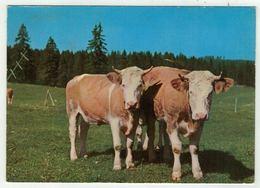 Vaches // Vache Au Pâturage Du Jura - Vaches