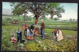 Ruebli Ernte Im Aargau - Choloriert - Belebt - 1909 - AG Aargau