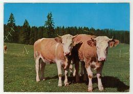 Vaches // Vaches Au Pâturage Du Jura - Vaches
