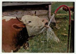 Vaches // Quelle Soif... - Vaches