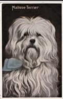 AO82 Animal Postcard - Dogs, Maltese Terrier - Dogs