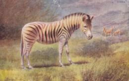 AO82 Animal Postcard - Zebra - Artist Signed - Zebre