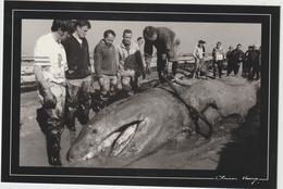 Ille  Et  Vilaine :  CANCALE  : Requin  Pélerin De 4 Tonnes échoué Dans Les  Parc à Huitres - Cancale