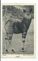 London Regents Park Zoo Wild Animal 1940s  Unused Postcard F.w.bond Okapi - Giraffes