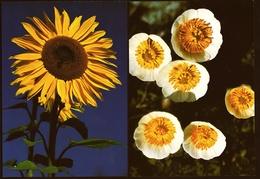2 X Blumen  -  Gletscher-Hahnenfuß / Sonnenblume  -  DJH / Deutsche Jugend Herberge  -  Ca. 1983    (11383) - Flowers
