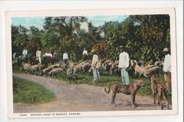 I-271 Panama Driving Hogs To Market Men Dogs Early Postcard - Postcards