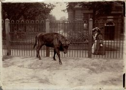 BUFFALO BISONS RUSSIAN BISON AT THE ZOO  +- 16*12CMFonds Victor FORBIN (1864-1947) - Fotos