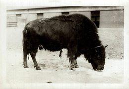 BUFFALO BISONS BISON   +- 16*12CMFonds Victor FORBIN (1864-1947) - Fotos