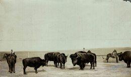 BISONS   BUFFALO BISON +- 20*12CMFonds Victor FORBIN (1864-1947) - Fotos