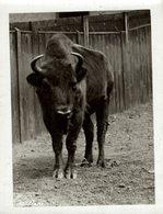 EUROPEAN  BUFFALO BISON +- 16*12CMFonds Victor FORBIN (1864-1947) - Fotos