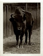 EUROPEAN  BUFFALO BISON AT THE ZOO  +- 16*12CMFonds Victor FORBIN (1864-1947) - Fotos