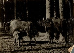 EUROPEAN  BUFFALO BISON SEE CORNERS  +- 24*17CMFonds Victor FORBIN (1864-1947) - Fotos