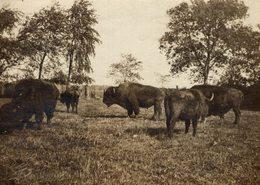 "PAWNEE BILL RANCH Gordon W. ""Pawnee Bill"" Lillie  Oklahoma USA  BUFFALO BISON  +- 10*8CMFonds Victor FORBIN (1864-1947) - Fotos"