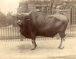 BOEF SAUVAGE   BUFFALO BISON  +- 11*9CMFonds Victor FORBIN (1864-1947) - Fotos