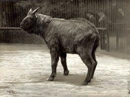 Animals Animaux Dieren +- 11*9CMFonds Victor FORBIN (1864-1947) - Fotos