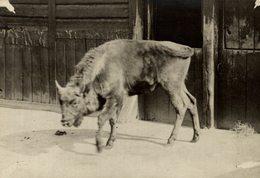 EUROPEAN AUROCHS ZOO DUKE OF BEDFORD  +- 15*11CMFonds Victor FORBIN (1864-1947) - Fotos