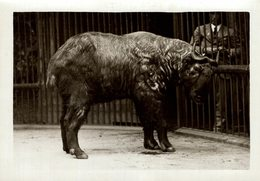 The Takin, Also Called Cattle Chamois Or Gnu Goat  AT THE ZOO  +- 16*12CMFonds Victor FORBIN (1864-1947) - Fotos