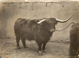 SMITHFIELD CATTLE SHOW   SEE CORNER  +- 21*16CMFonds Victor FORBIN (1864-1947) - Fotos