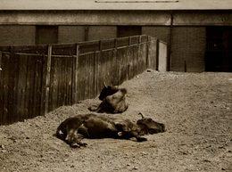 CATTLE BULL  +- 21*16CMFonds Victor FORBIN (1864-1947) - Fotos