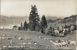 CPSM. VILLARS SUR OLLON. PÂTURAGES. 1960. - VD Vaud