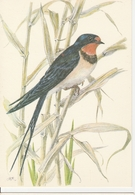 HIRONDELLE DE CHEMINEE - Oiseaux