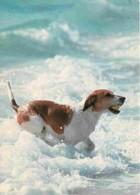 Animaux - Chiens - Beagle - Voir Scans Recto-Verso - Chiens