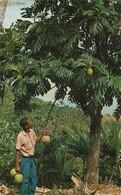 Martinique L'Arbre à Pain Et Ses Fruits (les Fruits à Pain) (2 Scans) - Non Classés