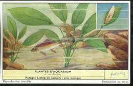 CHROMO LIEBIG . PLANTES D'AQUARIUM . ANUBIA . - Liebig
