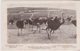 Ostriches, Barracluff's Ostrich Farm, Sydney, NSW - Vintage Unused C1900-1920 - Sydney